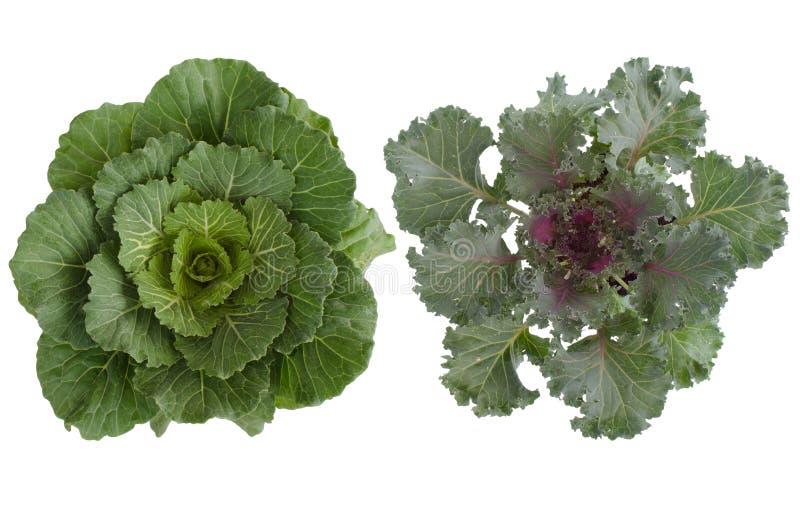 Cabbag longevo (cv dell'ibrido del brassica. Pule) fotografia stock libera da diritti