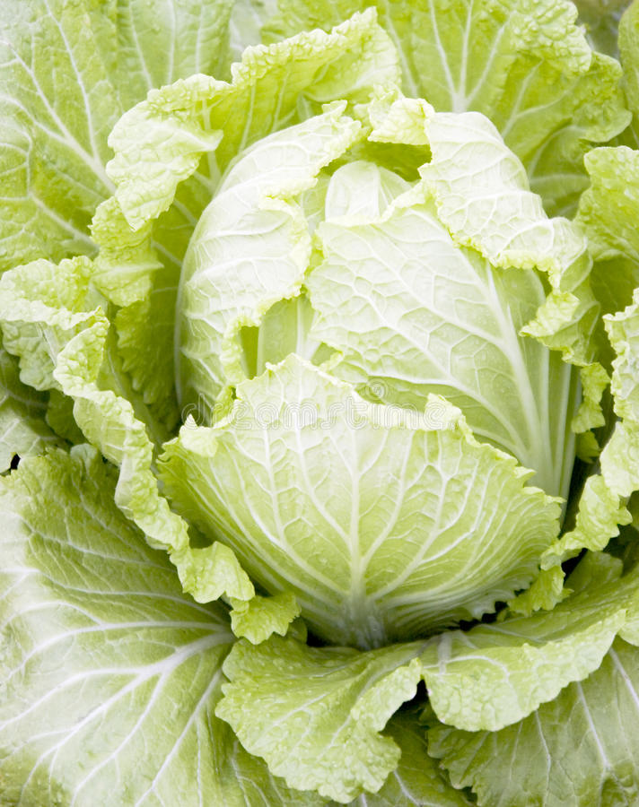 Download Cabbage stock photo. Image of closeup, crop, cabbage - 12896324