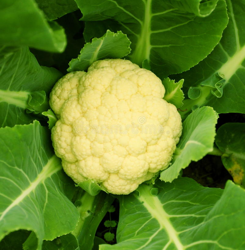 Free Cabbage Stock Images - 13034114