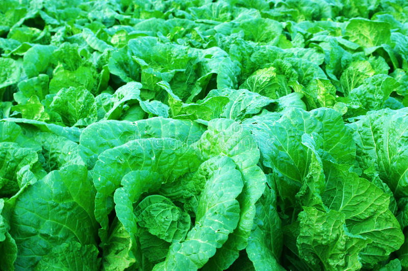 Download Cabbage stock photo. Image of juicy, field, close, leaf - 21706718