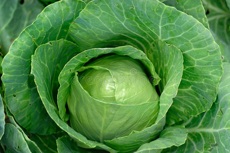 Cabbage stock photo