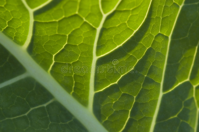 Cabbage royalty free stock image