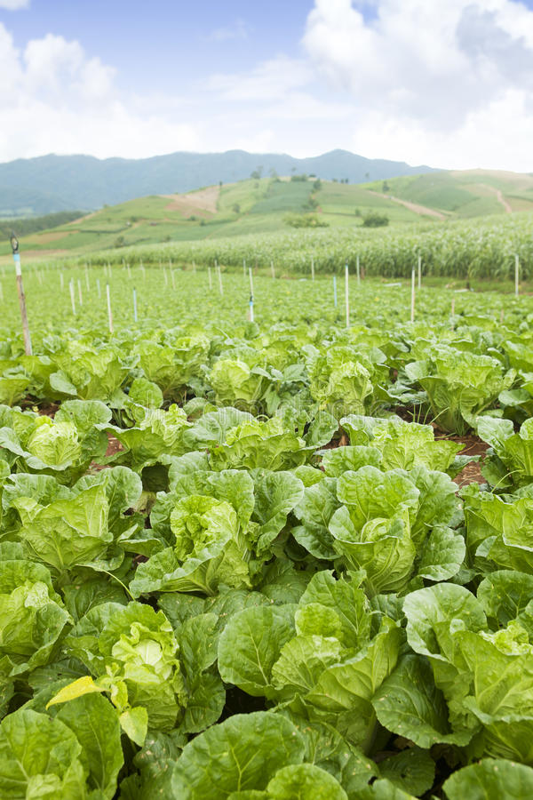 Cabbage on an agriculture field stock image
