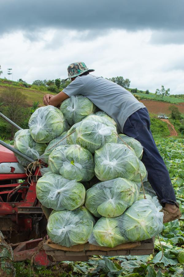 Cabbage bag fresh from the farm , It is being transported for sale. stock photos