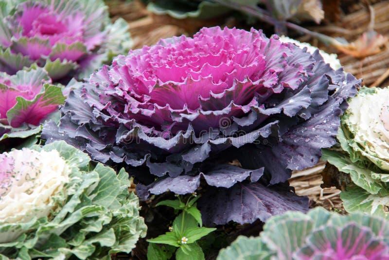Cabbage (brassica oleracea) stock image