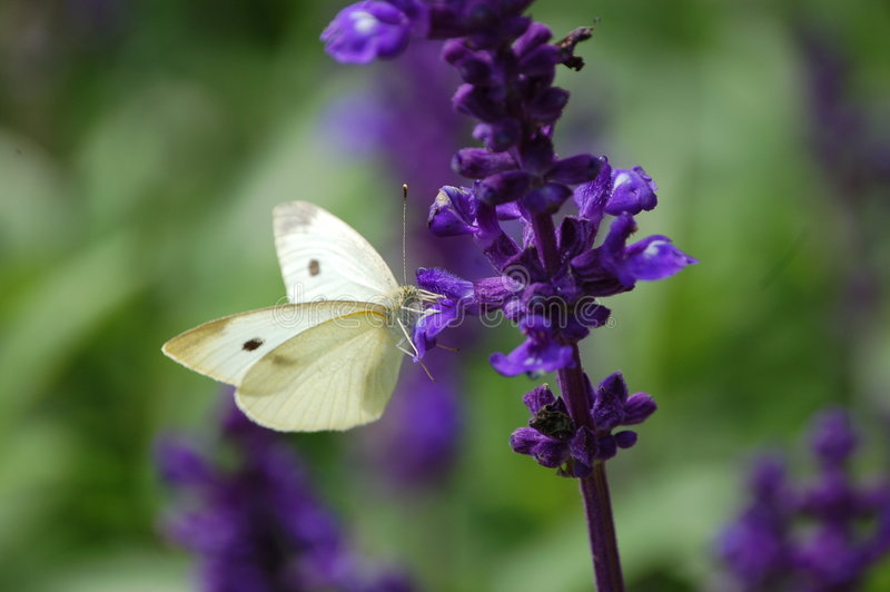 Download Cabbage butterfly stock image. Image of detail, closeup - 3927393