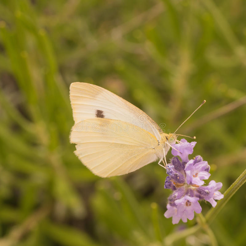 Download Cabbage Butterfly stock image. Image of pierina, north - 68770443