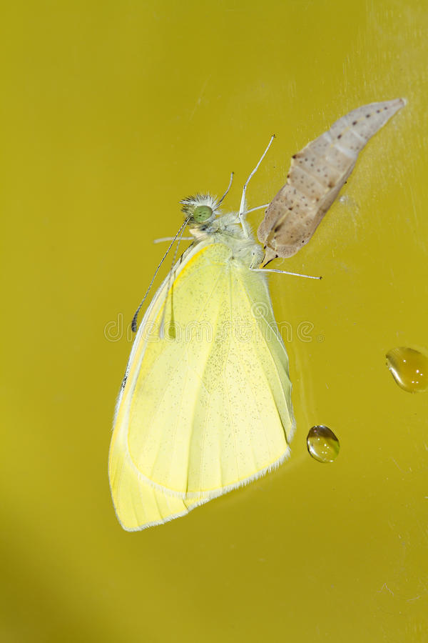 Cabbage butterfly ( Pieris brassicae) came out of cocoon stock photos