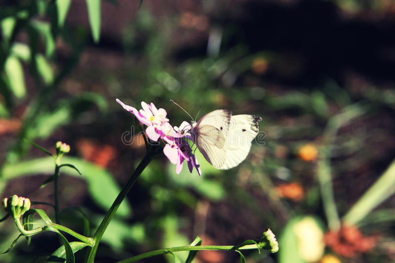 Cabbage butterfly sitting on pink flower close up in summer. Selective focus stock photography