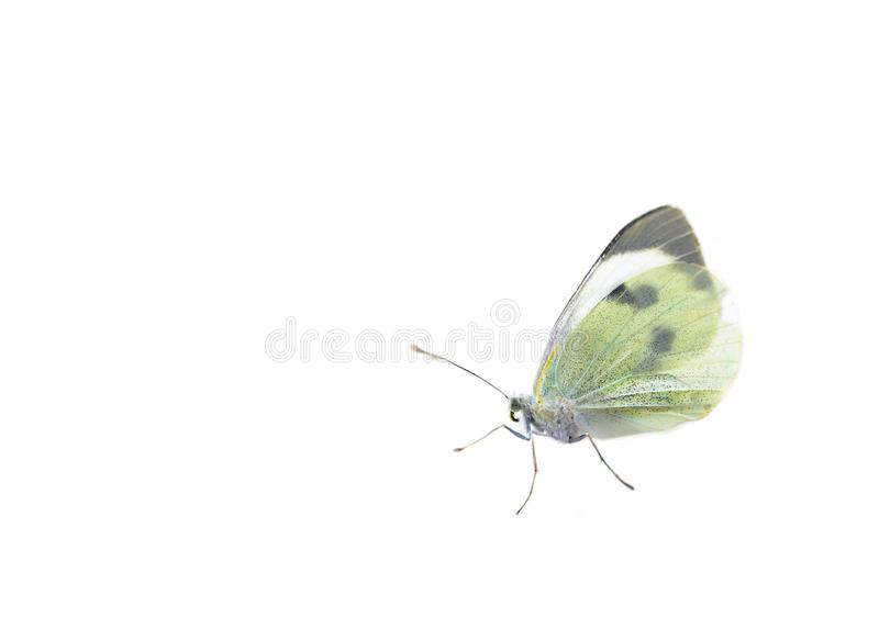 Cabbage butterfly on white stock image