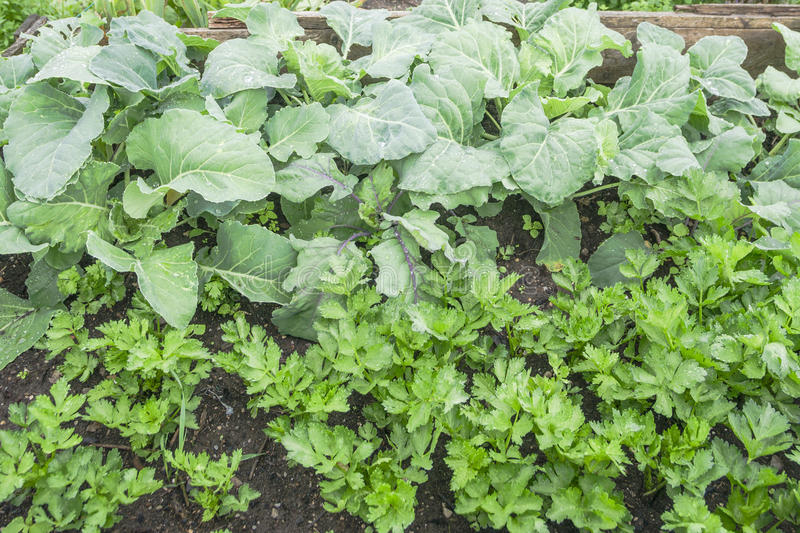 Cabbage and Celeriac. Plants in a vegetable garden royalty free stock photos