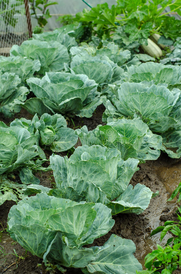 Cabbage Crop Royalty Free Stock Photo