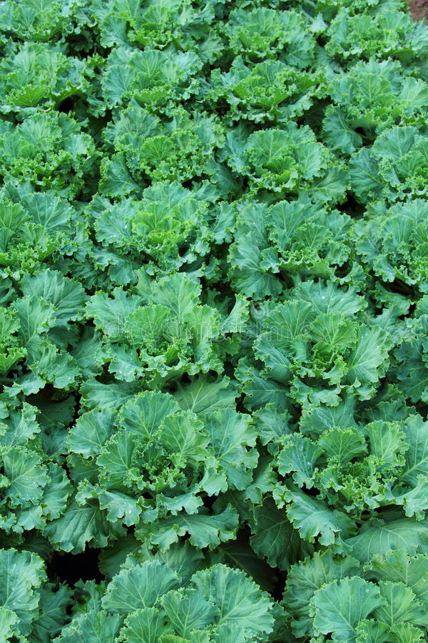 Cabbage Farm Stock Image