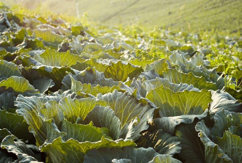 Cabbage Farm stock photos