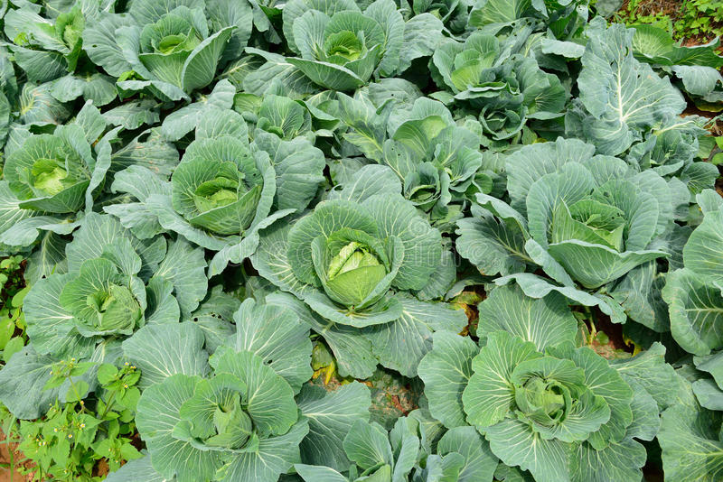 The Cabbage Farming Stock Photo