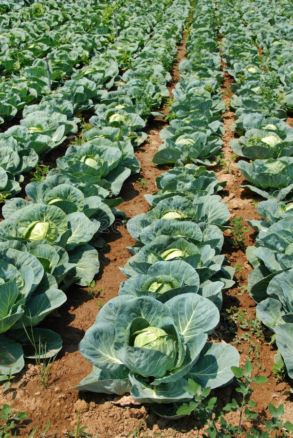Download Cabbage field stock image. Image of agricultural, food - 21763581