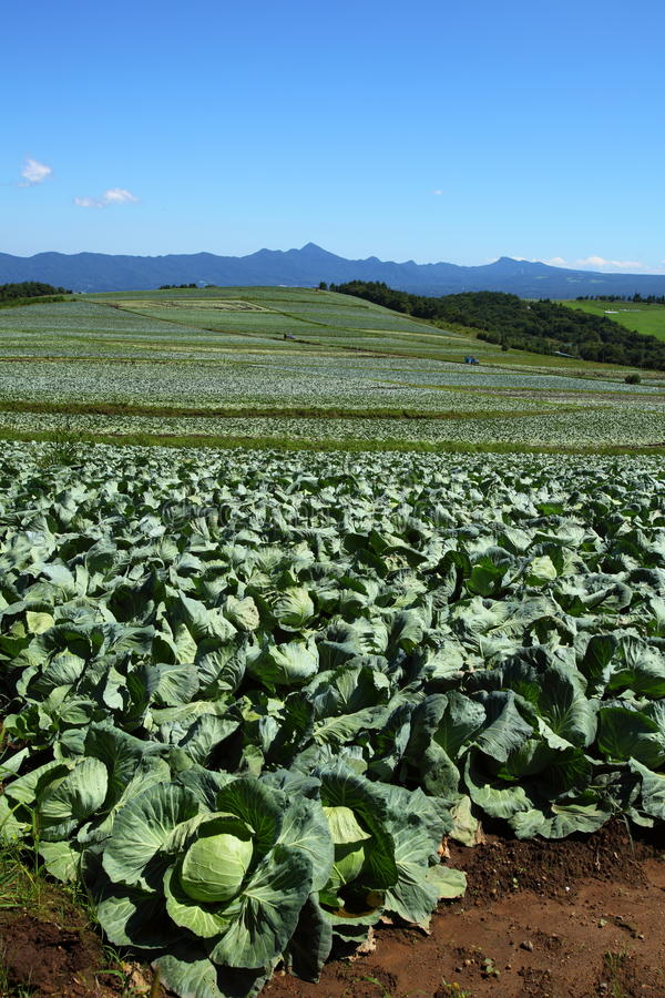 Cabbage field. Mountain and cabbage field in japan stock images