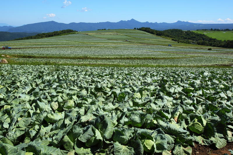 Cabbage field. Mountain and cabbage field in japan stock photo