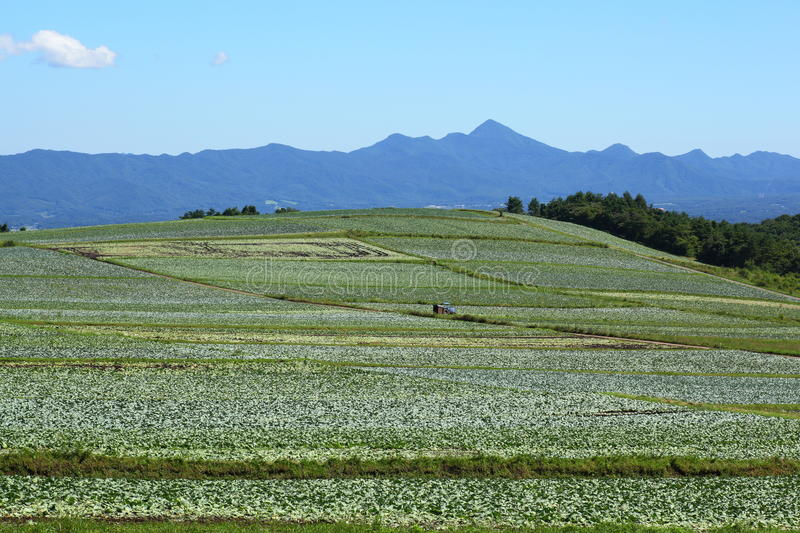 Cabbage field. Mountain and cabbage field in japan royalty free stock images
