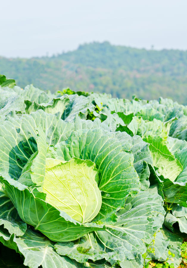Cabbage Field On The Hill And Mountain Background Stock Images