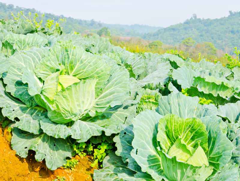 Download Cabbage Field On The Hill And Mountain Background Royalty Free Stock Images - Image: 29075929