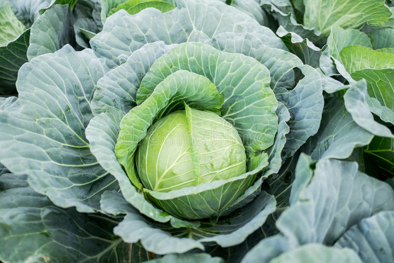 Cabbage. royalty free stock photos