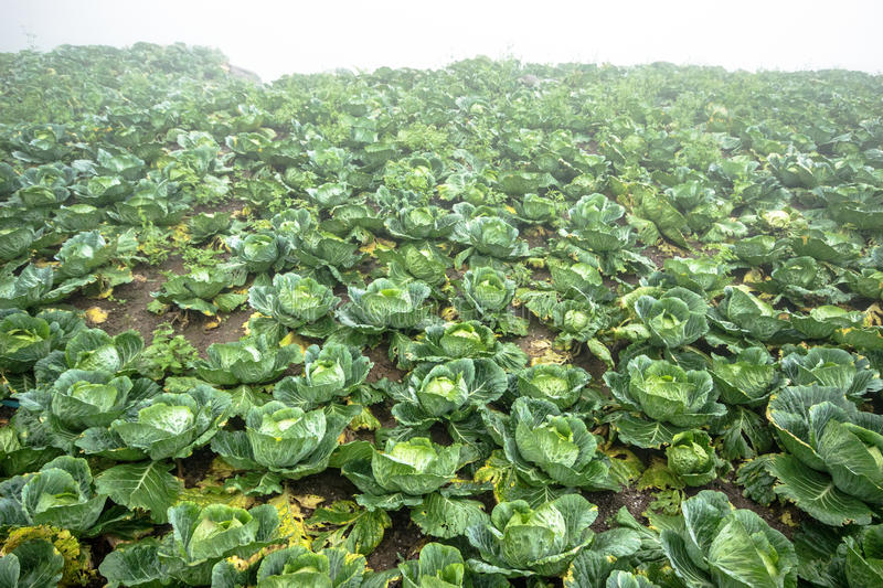 Cabbage Garden stock images