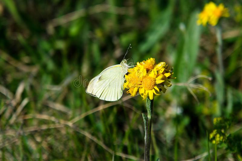 Cabbage garden white butterfly on a flower royalty free stock photo