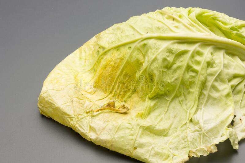 Cabbage, green and healthy winter vegetable. Freshly picked cabbage from the garden, winter vegetable, healthy and ideal for vegetarian meals; winter meals royalty free stock photo