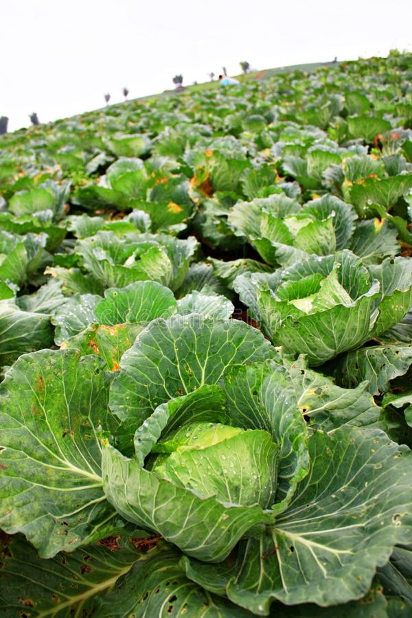 Cabbage are growing royalty free stock photos