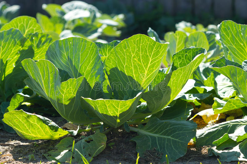 Download Cabbage Growing Stock Photo - Image: 41868749