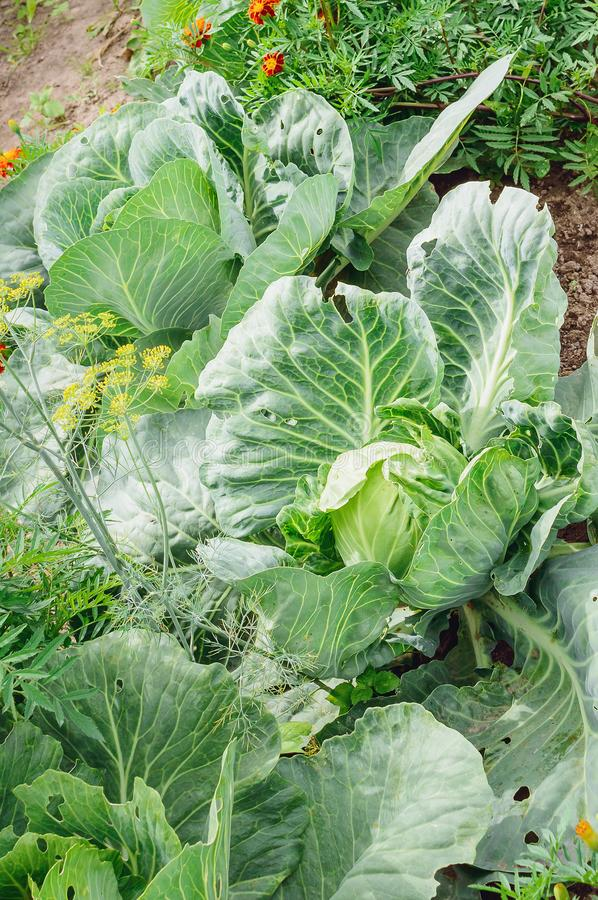 The cabbage grows on the bed. Close-up stock photo