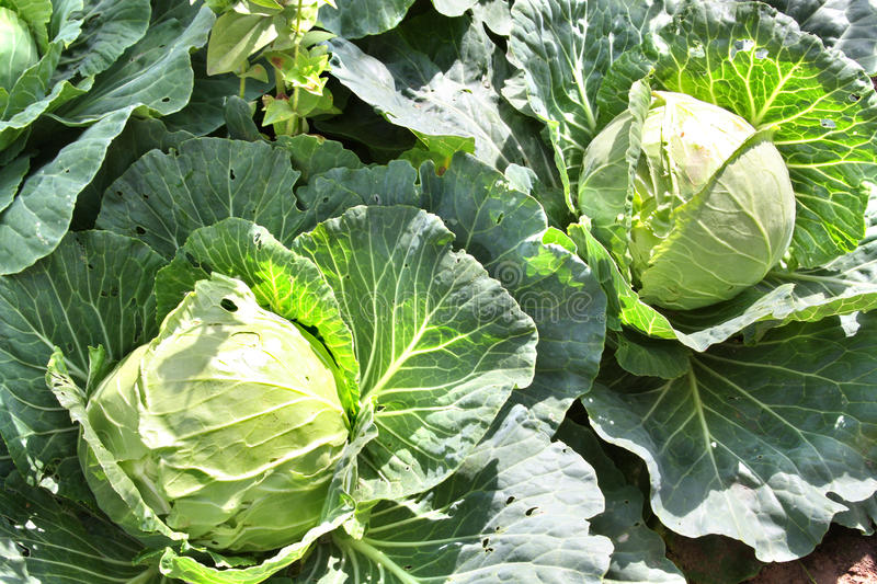 Cabbage heads organically growing stock photos