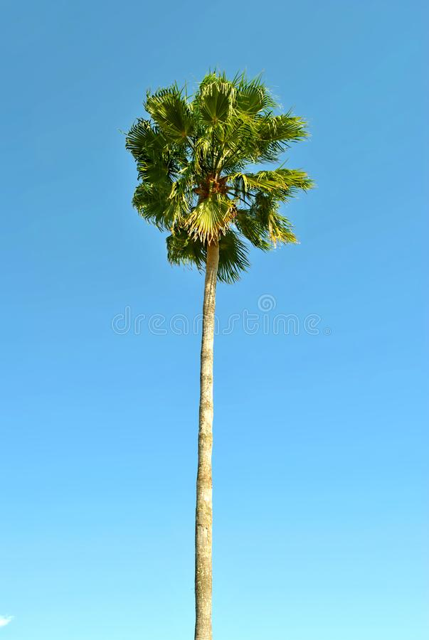 Cabbage palm tree stock photography