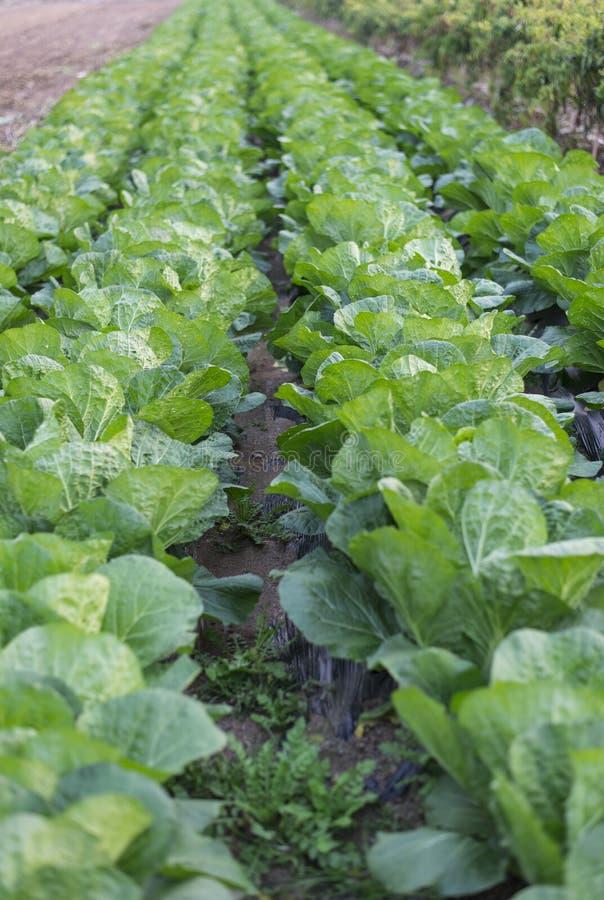Cabbage Plantation Stock Photos
