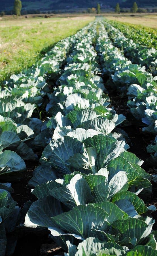 Cabbage plantation stock image
