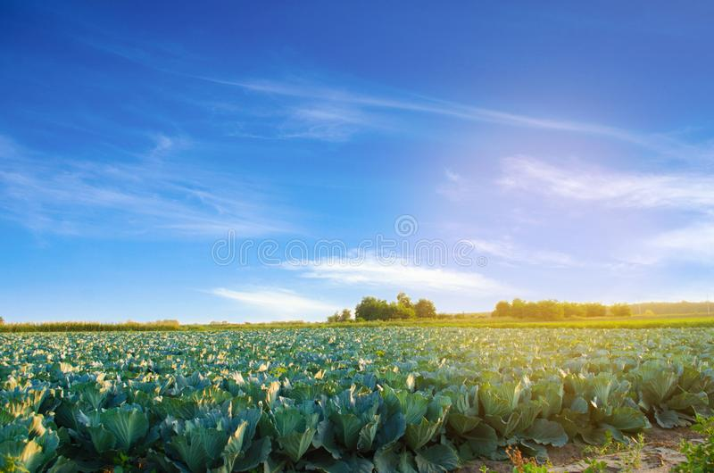 Cabbage plantations grow in the field. fresh, organic vegetables. landscape agriculture. farmland, farming royalty free stock image