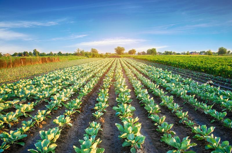 Cabbage plantations grow in the field. vegetable rows. farming, agriculture. Landscape with agricultural land. crops royalty free stock photo