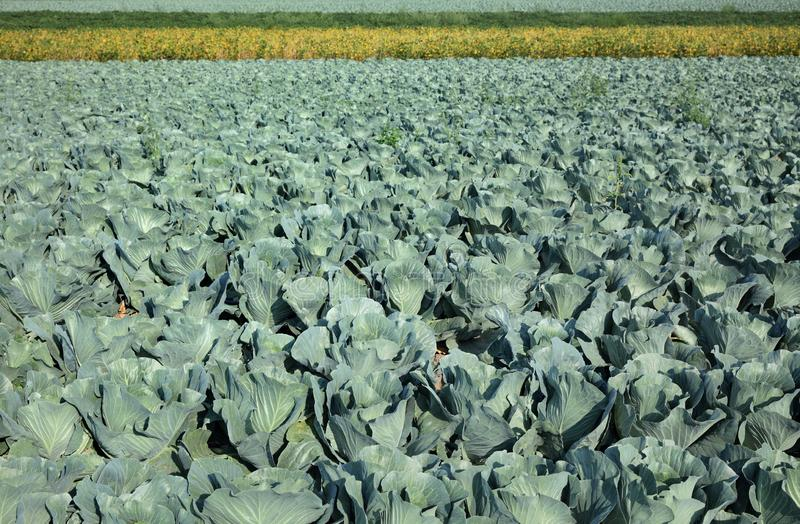 Cabbage plants in field stock image