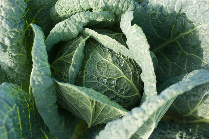 Download Cabbage's Head With Leafs Stock Images - Image: 11151744