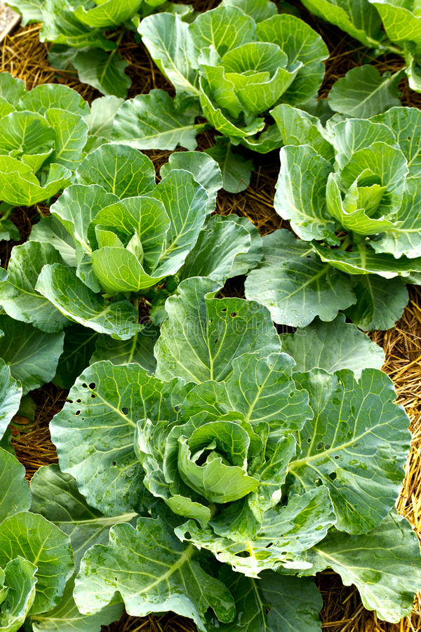 Cabbage seedlings. Closeup cabbage seedlings grown in a field stock photography