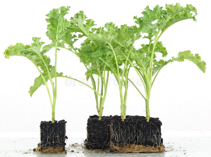 Download Cabbage Seedlings Growing Into Cubes Stock Photo - Image: 83705981