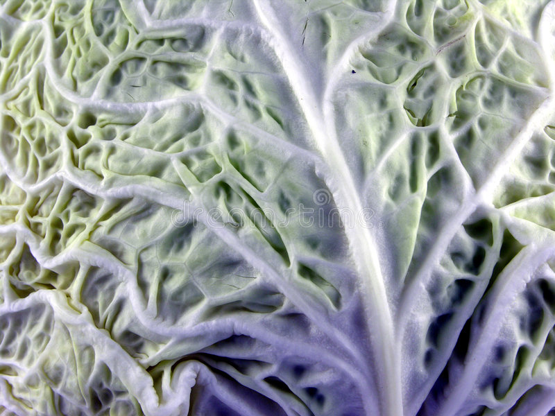 Cabbage sheet stock photos