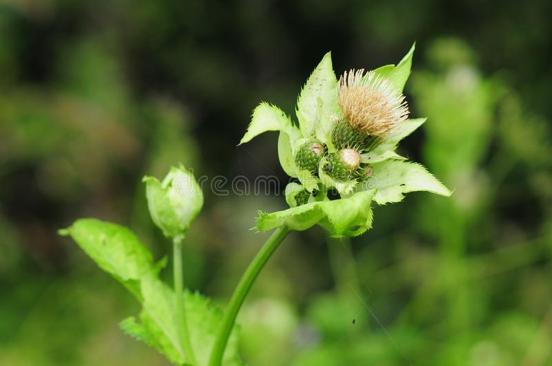 Cabbage thistle or Siberian thistle, Cirsium oleraceum, sunflower family. herbaceous perennial plant. Close-up of head with seeds royalty free stock photos