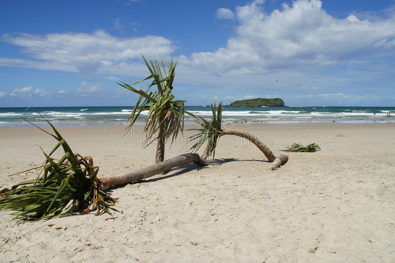 Cabbage tree on the beach in Australia stock photo