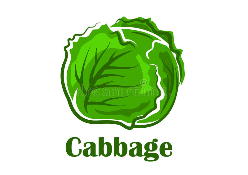 Cabbage vegetable with crunchy green leaves. Fresh cabbage vegetable crunchy curly green leaves isolated on white background with caption Cabbage for vegetarian stock illustration