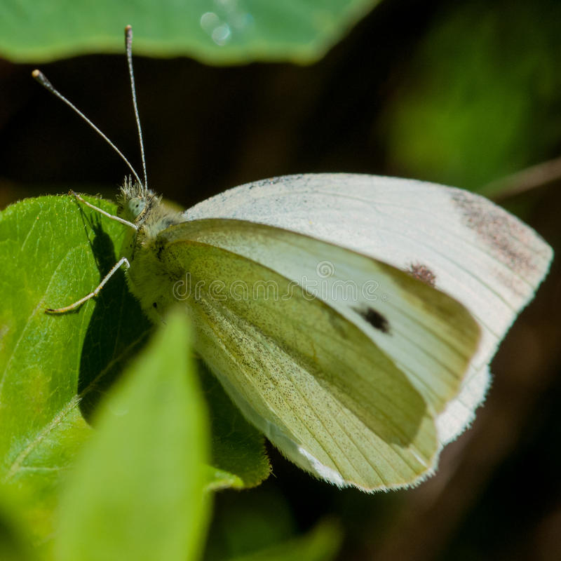 Download Cabbage White stock image. Image of butterfly, square - 28835105
