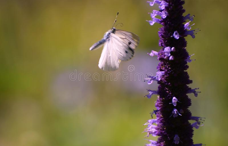 Cabbage white butterfly in flight with wings in motion. A cabbage white butterfly Pieris rapae in flight in mid air about to land on a flower stock images