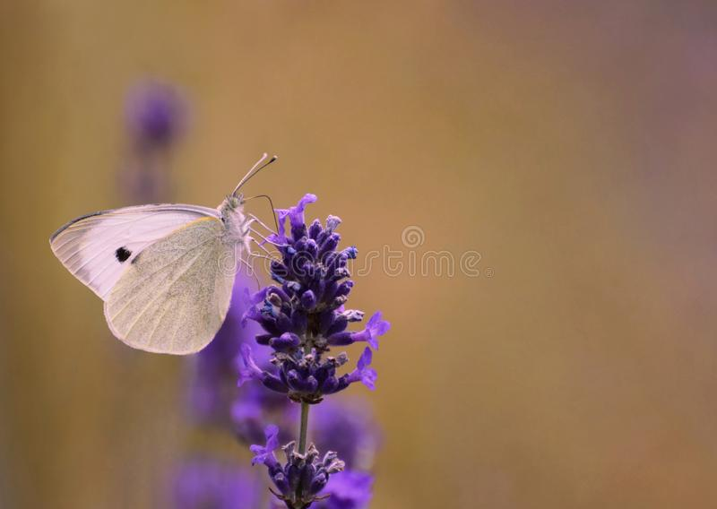 Cabbage white butterfly on lavender stock image
