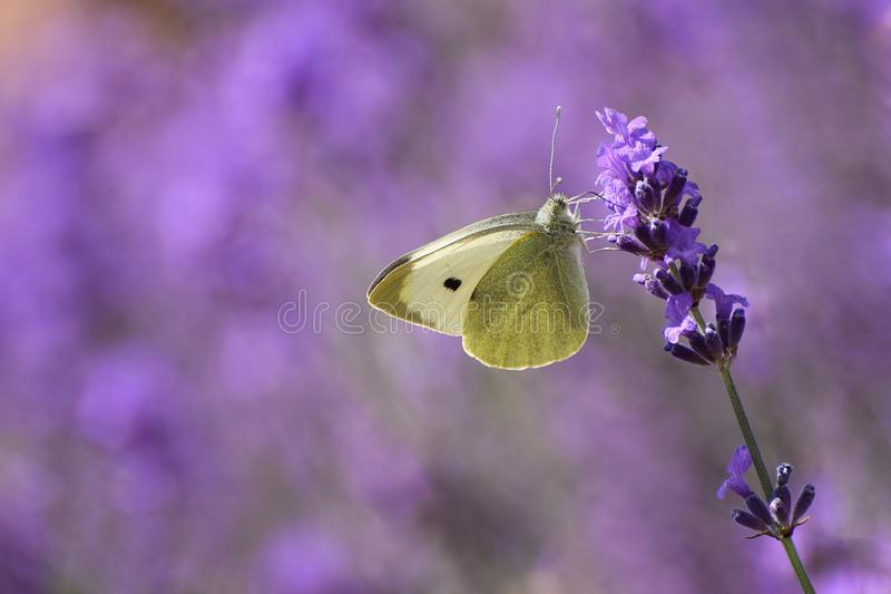 Cabbage White Butterfly Pieris rapae royalty free stock photo